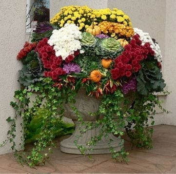 fall planter combines red and yellow mums with green and purple kale and ivy trailing
