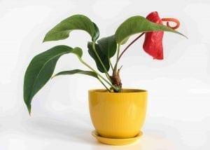 yellow ceramic pot with saucer has anthurium