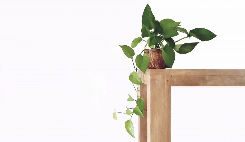 golden pothos plant draping over shelf