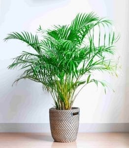 easy plant areca palm in a wicker basket