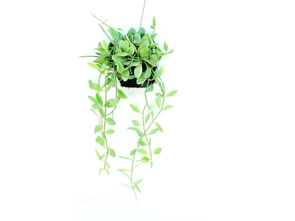 green plant in dark pot hanging from the ceiling on a hook