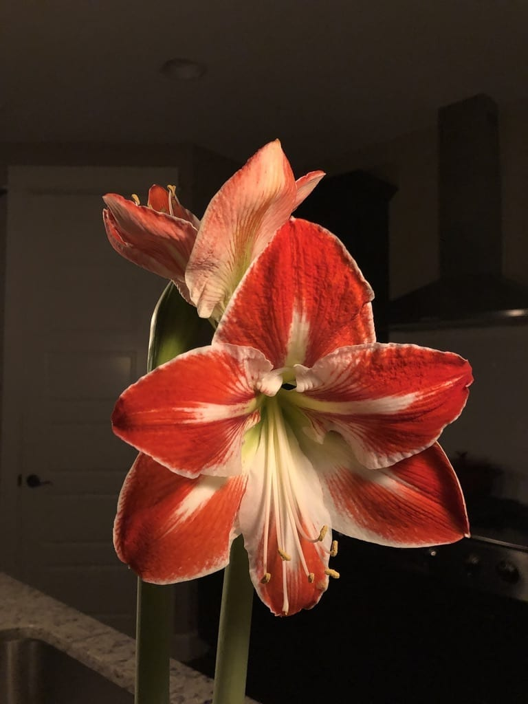 red and white amaryllis bloom in a dark background