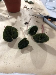 propagating peperomia with leaf cutting