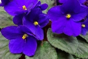 purple african violet blossoms on dark green leaves are not toxic to pets