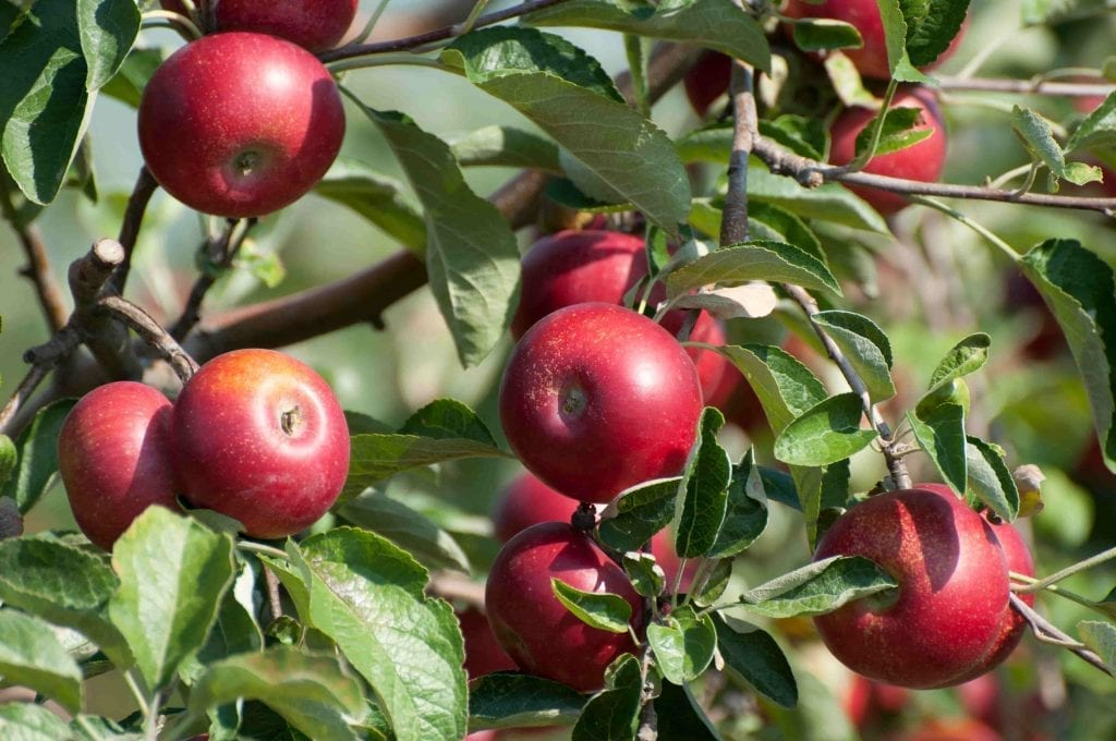 poinonous plants for pets apples, seeds, leaves