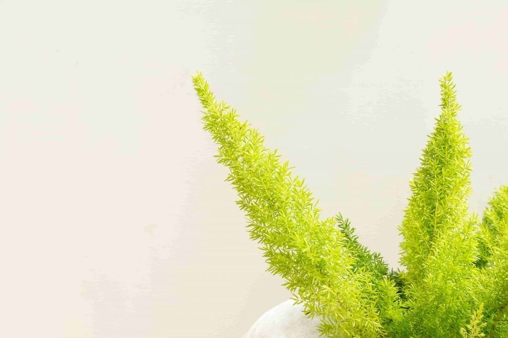 poisonous to pets plants Asparagus Fern on White walls.-min