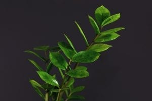 Branch of tropical 'Zamioculcas Zamiifolia' house plant on dark black background, also called 'ZZ plant' or 'Emerald Palm'