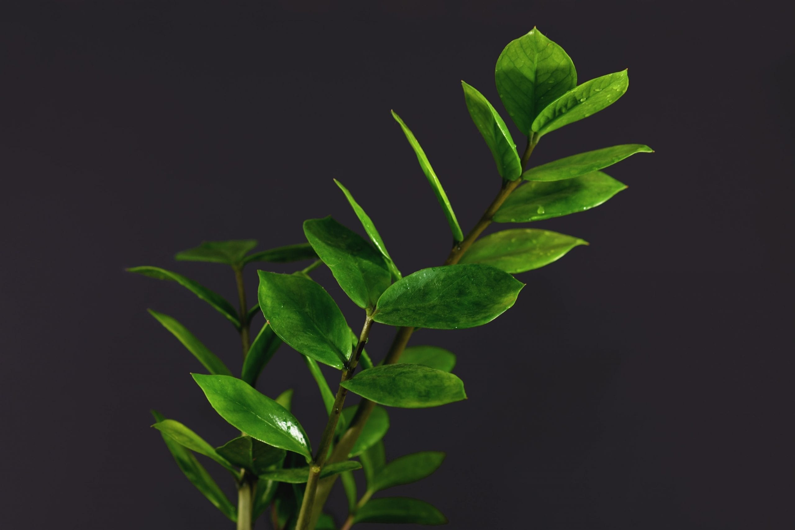 favorite houseplant Branch of tropical 'Zamioculcas Zamiifolia' house plant on dark black background, also called 'ZZ plant' or 'Emerald Palm'
