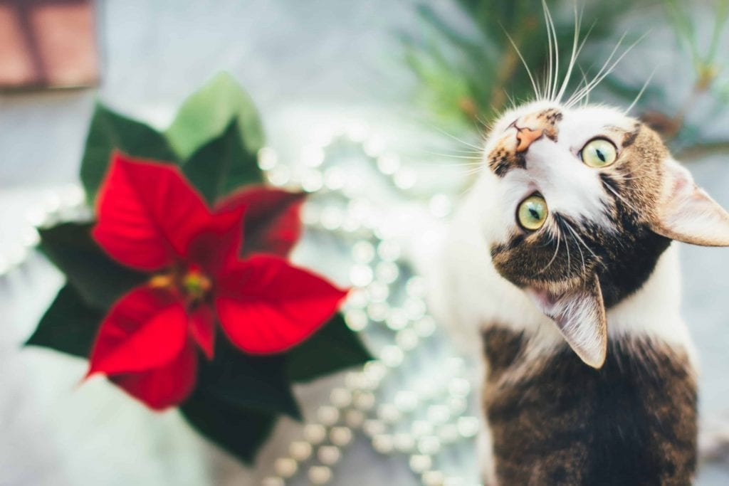 Cat with poinsettia that might be poisonous to pets