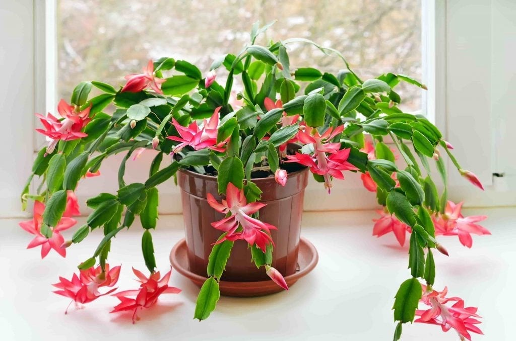 christmas cactus with pink flowers