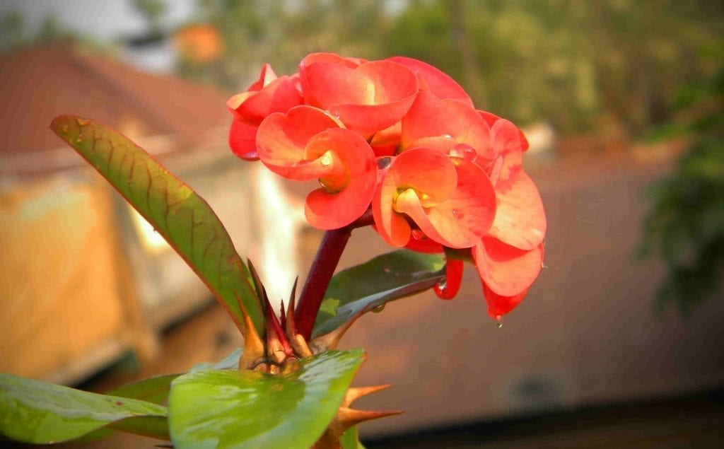 crown of thorns flower is easy to care for