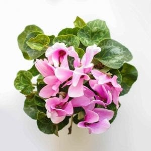 houseplant for bathroom Cyclamen pink flowers view from above