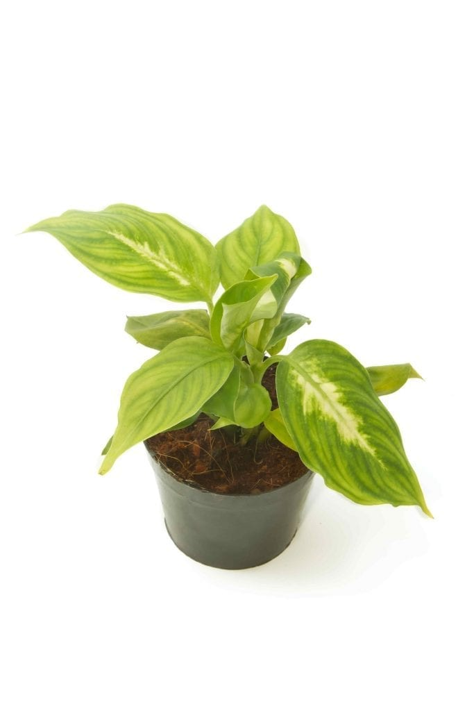 houseplant for bathroom dieffenbachia in pot