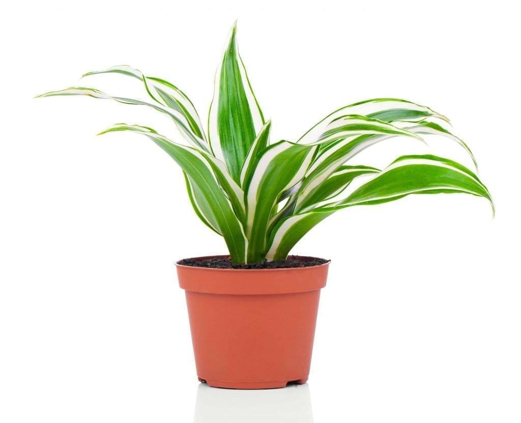 dracaena fragrans in red pot