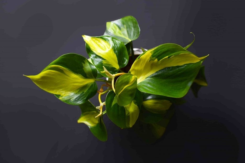 Exotic green Philodendron Scandens Brasil creeper plant with yellow stripes on dark background