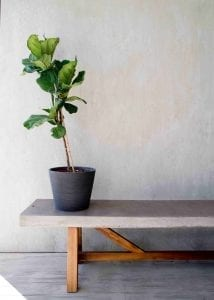 bathroom plants fiddle leaf fig tree on bench with gray background