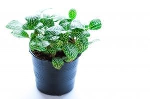 green with white fittonia in blue pot on white background