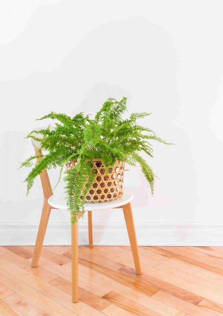 boston fern-plant-in-a-basket-on-a-stylish-chair