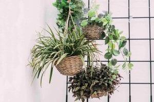 Spider Plant Hanging Plants