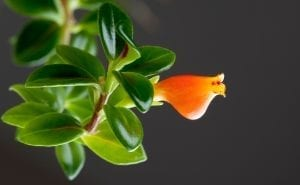 goldfish plant with orange flowers