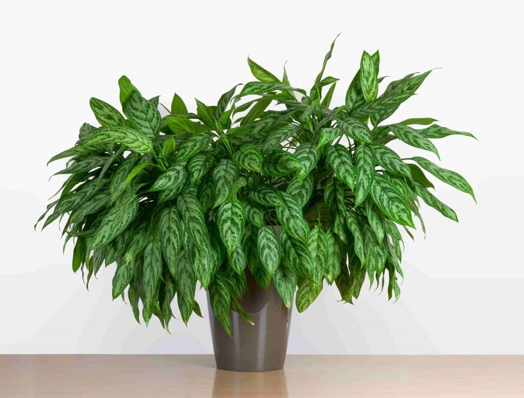 chinese evergreen houseplants are non-toxic to pets