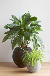 Spider Plant with Areca Palm Healthy Houseplants