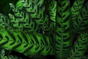 Rattlesnake plant (Calathea lancifolia) leaves pattern on dark background