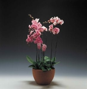 pink orchid in brown pot on dark background