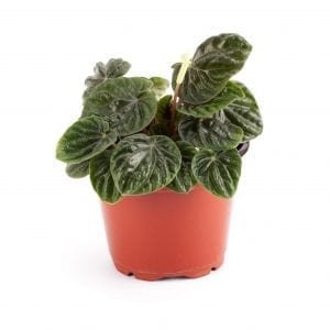 Peperomia caperata houseplant in red pot