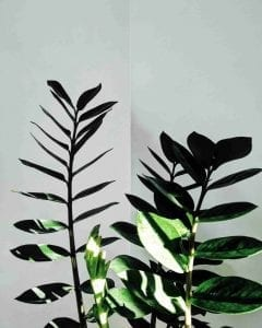 easy care house plant ZZ house plant stems and leaves