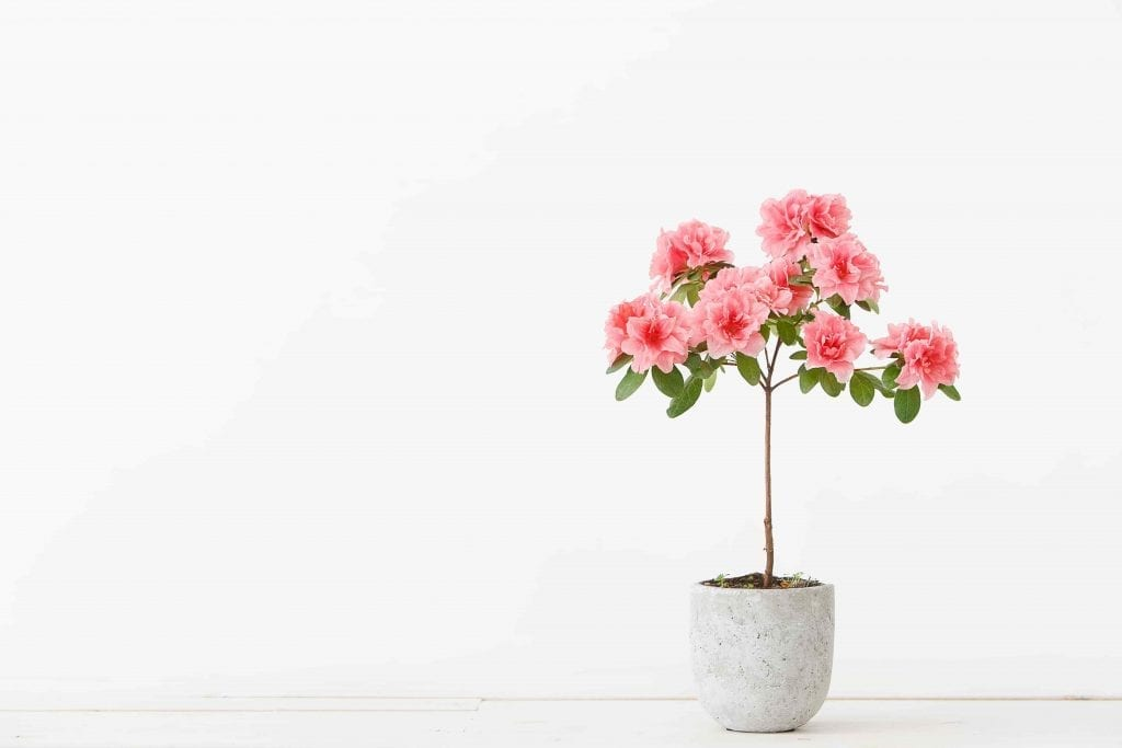 houseplant for the bathroom pink azalea plant in concrete pot