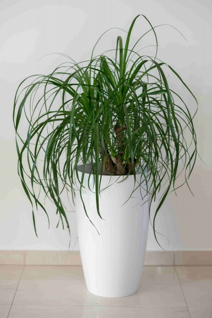 easy houseplant ponytail palm is easy to care for