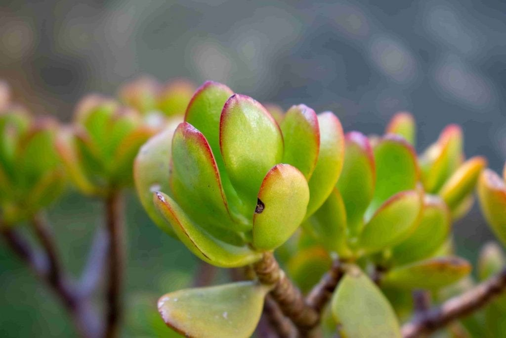 easy care jade plant house plant