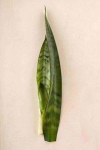 sansevieria stem for cutting propogation on beige background