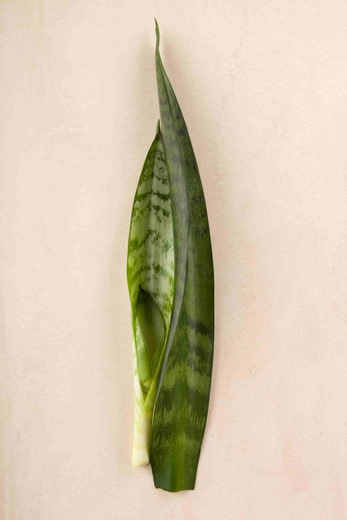 sansevieria stem for cutting propogation on beige background