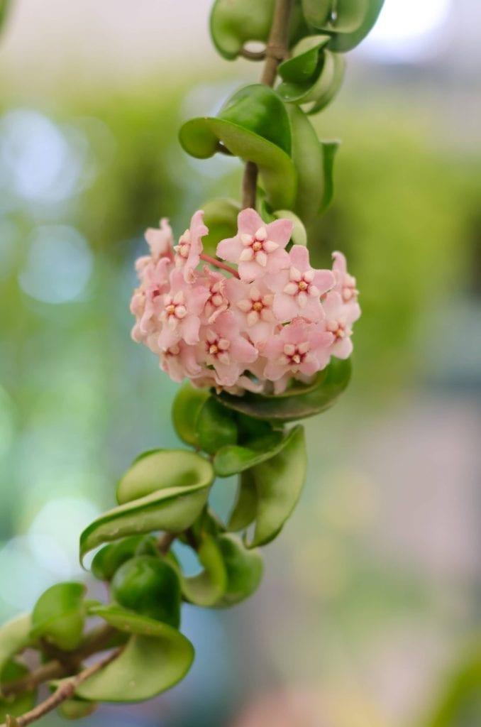 soft-focus-of-pink-blooming-Hoya-Carnosa