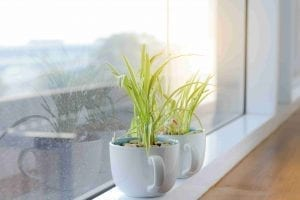 spider plant in white mug on windowsill