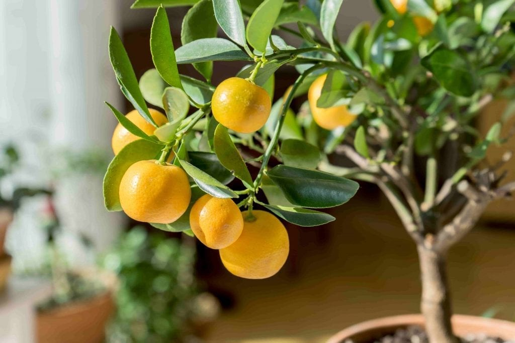 houseplant for bathroom dwarf meyer lemon tree with yellow fruit and green leaves