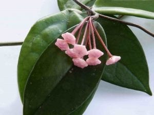 easiest plant hoya potted plant with pink buds of flowers-