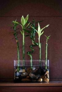 easy care houseplant lucky bamboo in saucer with water and pebbles