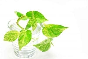 pothos cuttings in water for propagation