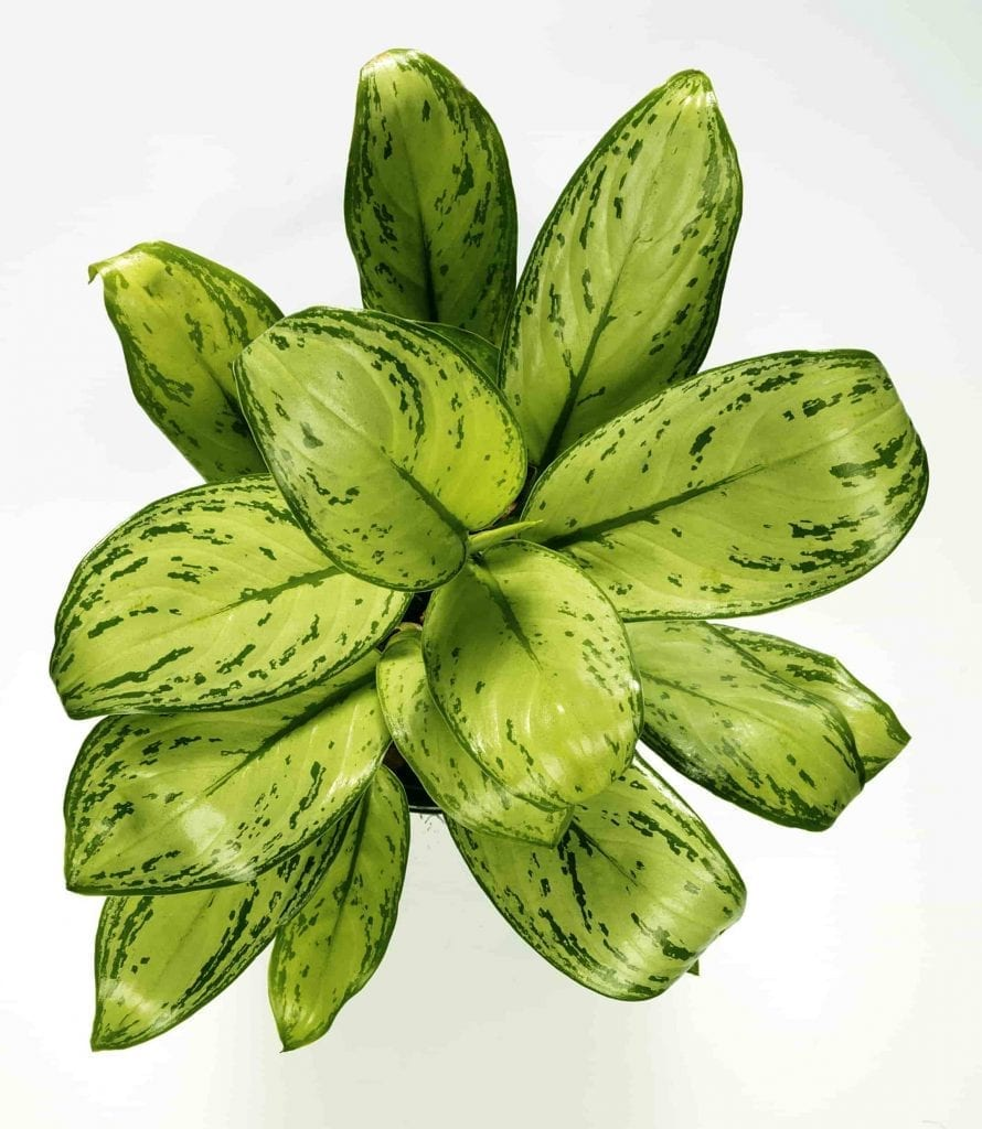 east to care for dieffenbachia plant with dark green and light green