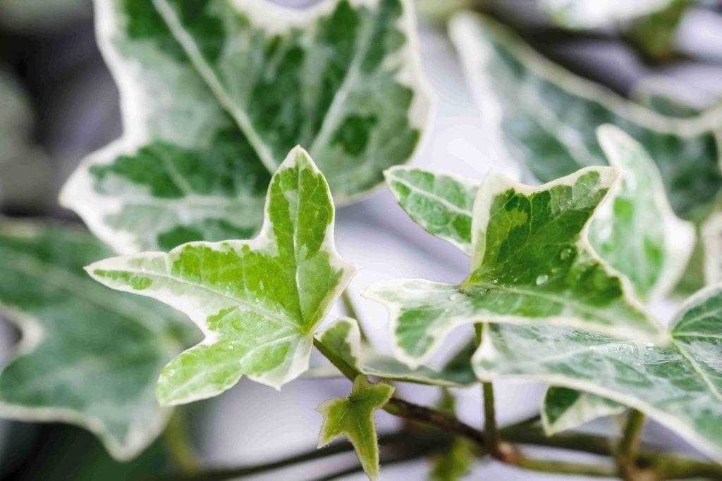 English Ivy houseplant can help you sleep