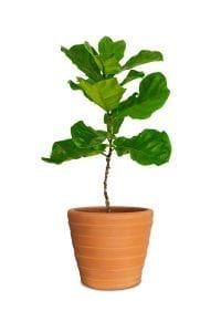 fidle leaf fig in a pot is easy to care for