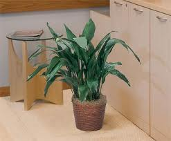 easy care houseplant cast iron plant in pot in house