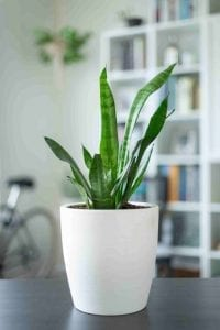 Cure for insomnia? Snake plant in white pot