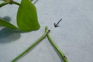 pothos aerial root node