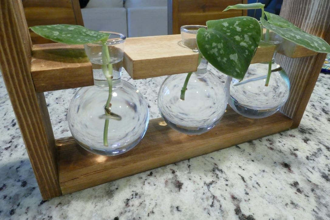 three plant starts in water propagation