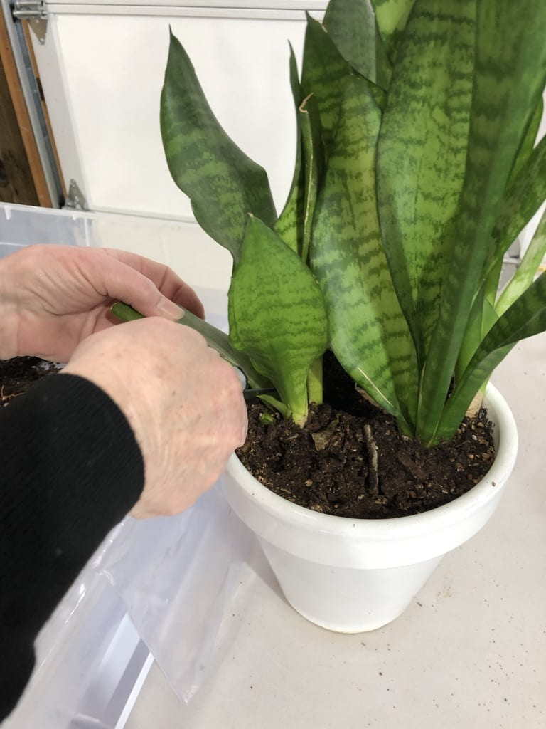 cutting sansevieria leaf