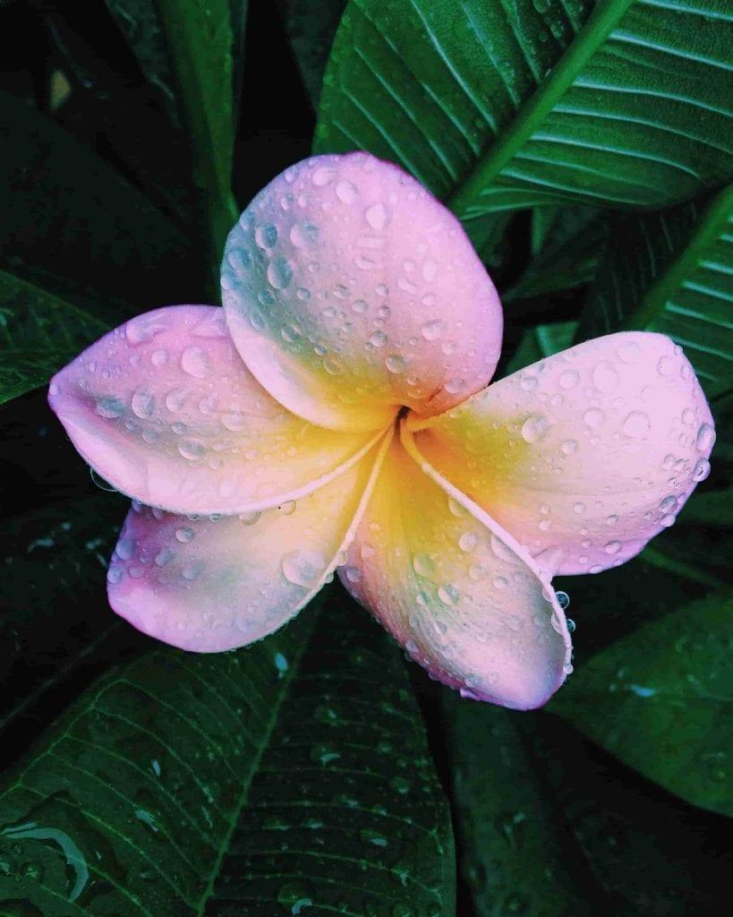 single pink plumeria blossom with foliage
